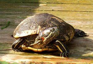 Sarkanausu bruņurupucis, invazīva suga