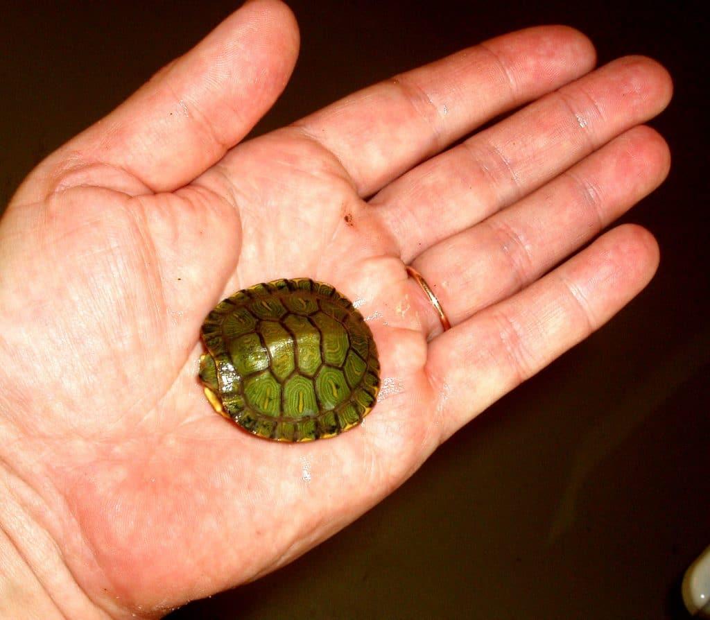 Sarkanausu bruņurupucis, mazulis. Invazīva suga